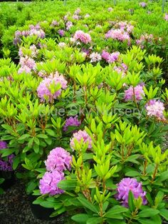 Rododendron Catawbiense  Grandiflolium