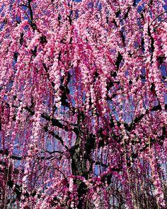 Soga Bessho Bairin   TRAVEL JAPAN 47