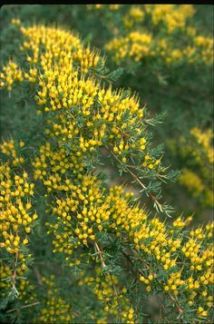 The 109 best australian shrubs images on pinterest australian it is endemic to new south wales in australia flowering occurs between late spring and summer usually between november and february mightylinksfo