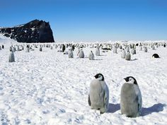 Antarctica is my most ultimate destination. Definitely have to see those Emperor penguins in real life Patagonia, Penguin Walk, Penguin Images, Baby Penguins, Animal Wallpaper, Wallpaper Pictures, Hd Wallpaper, World Of Warcraft, Pet Birds