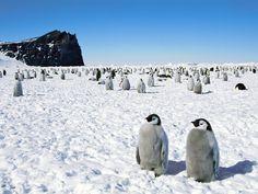 Emperor Penguins Antarctica Wallpaper – HD Wallpapers