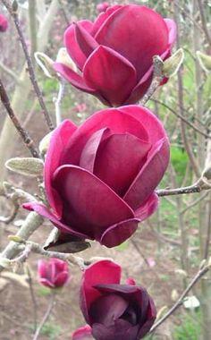 Die neue Magnolien-Hybride 'Genie' wurde in Neuseeland gezüchtet und fällt mit ihren dunkelpurpurroten Blüten schon von weitem auf. Sie bildet eine für Magnolien ungewöhnlich schmale Krone und wird vier bis fünf Meter hoch. Die tulpenähnlichen Blüten öffnen sich ab Mitte April vor dem Laubaustrieb und halten mehrere Wochen lang. Wegen der relativ späten Blütezeit sind sie kaum spätfrostgefährdet.