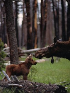 Moose with Young by Randy Olson ~ I believe a portion of the proceeds goes to the National Wildlife Federation's Alaska Regional Center: Sooooooooo adorable! Woodland Creatures, Cute Creatures, Beautiful Creatures, Animals Beautiful, Cute Baby Animals, Funny Animals, Image Nature, Mundo Animal, Tier Fotos