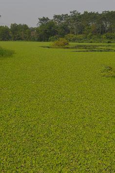 Groener dan gras, maar toch echt waterplanten. We blijven met onze scooter op de kant op onze trip rond Hanoi. http://www.pimenjiska.nl/scootertrip-rond-hanoi