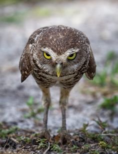 Being confronted by one of the intense little owls.    One funny and cute bird !!!