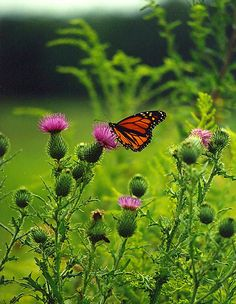 Monarch on Thistle c1999 / August / Kelly Road, Worth Township, Slippery Rock, Pennsylvania / PHOTO BY Melanie Petridis / Monarch Butterfly in the Heart of Summer