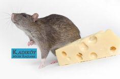 Kadıkoy böcek ilaçlama: Fare Zehirleme Firmaları