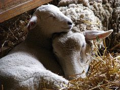 Lamb Sleeping On Mother Sheep - Cosley Animal Farm & Museum - Wheaton Park District - Chicagoland, IL by paulmichaels79uf, via Flickr