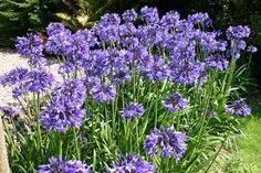 Afrikaanse lelie / Agapanthus africanus. Ideaal voor in grote potten op terras, maar kan ook in goed volle grond. Geef dan in de winter wel een beschermlaag tegen de vorst. Met ieder jaar wat plantenmest geeft de decoratieve Afrikaanse lelie nog meer bloemen in het volgende jaar! Wit en blauw.