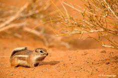 White-tailed Antelope Squirrel, Mojave Desert, California