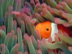 Shrimp, clownfish, anenome