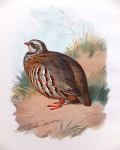 French Partridge - Christmas Antique Bird Print - Vintage Bird Illustration - Bird Print from Swaysland, Familiar Wild Birds on Etsy, £8.00