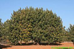 Ceratonia siliqua (algarrobo)
