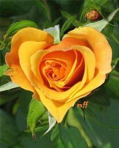 Heart Shaped Yellow Rose of Texas. Heart in nature. Amazing Flowers, Beautiful Roses, Beautiful Flowers, Exotic Flowers, Purple Flowers, White Flowers, Beautiful Pictures, Floral Flowers, Yellow Roses