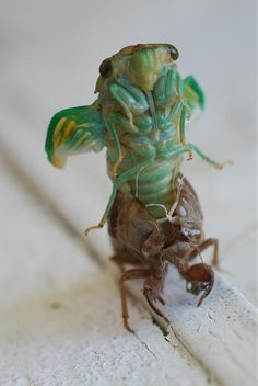 ✯ Moulting Cicada ✯ OMGosh, this is awesome! I always find these shells/casings/sheddings whatever you call em but I never knew the bug was green when it came out! Beautiful Bugs, Amazing Nature, Borneo, Mantis Religiosa, Cool Bugs, A Bug's Life, Bugs And Insects, Chenille, Amphibians