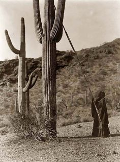 Here for your browsing pleasure is an extraordinary photo of a woman Gathering Hasen. It was made in 1907 by Edward S. Curtis.    The photo documents the Woman using a long pole to harvest cactus fruit in Arizona.    We have compiled this collection of photos mainly to serve as a vital educational resource. Contact curator@old-picture.com.