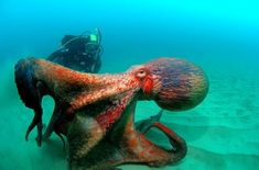 Large Octopus with Scuba Diver❤
