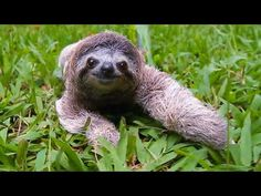 Different Types of Sloths in the Rainforest with Pictures and Facts Animal Rescue, Types Of Animals, Cute Animals, Small Animals, Wild Animals, Three Toed Sloth, Baby Sloth, Animal Control, Animals