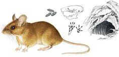 Le mulot sylvestre est un animal svelte de 8 à 10 cm de long avec une queue de 8 cm et il pèse de 15 à 20 grammes.