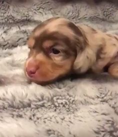 So cute and adorable 😍😍😍 – Welpen Super Cute Puppies, Cute Baby Dogs, Cute Little Puppies, Cute Dogs And Puppies, Adorable Puppies, Tiny Puppies, Dachshund Puppies, Pet Dogs, Weenie Dogs