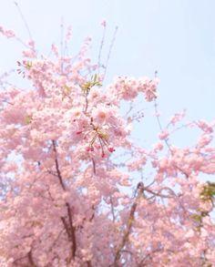 樱花盛开 by insta.beijing