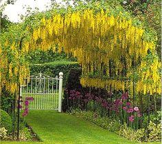 glycinia garden