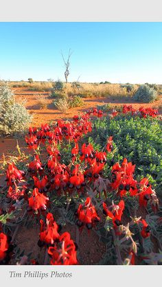Desert Pea Outback Australia by tim phillips photos, via Flickr