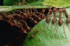 oecophylla ants - Pesquisa Google