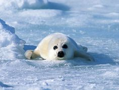 Been There: 200 miles off the coast of Nova Scotia, Altlantic ocean where baby seals are born. They sound like kittens! Zoo Animals, Cute Animals, Wild Animals, Harp Seal, Seal Pup, Marine Life, Beautiful Creatures, Animal Pictures, Art Pictures
