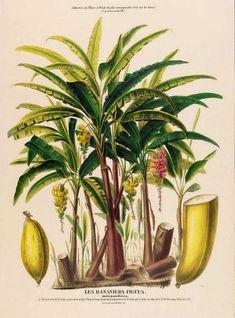 antique french botanical print banana tree and fruit French Illustration, Fruit Illustration, Botanical Drawings, Botanical Prints, Impressions Botaniques, Banana Art, Tropical, Fruit Print, Kitchen Wall Art