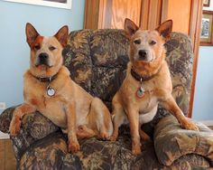 Just watching a little TV Aussie Cattle Dog, Austrailian Cattle Dog, Cattle Dogs, Dog Rules, Labrador Retriever Dog, Dogs And Puppies, Doggies, Funny Art, Beautiful Dogs