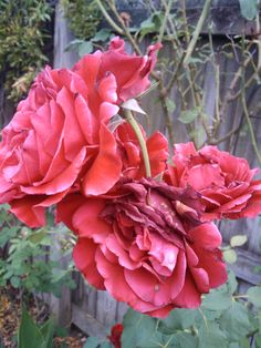 """How to prune repeat bloomers such as """"Don Juan"""" rose for more blooms. IMG_20110613_184540"""