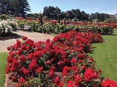 The Victoria State Rose Garden in bloom (©Victorian State Rose Garden)
