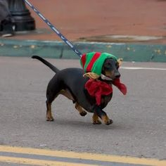 Gaslamp Holiday Pet Parade in beautiful San Diego, California. Dog Love, Puppy Love, Pet Parade, Pets 3, Weenie Dogs, Dachshund Love, Elf, Dog Walking, Animal Pictures