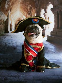 Napoleon Pug