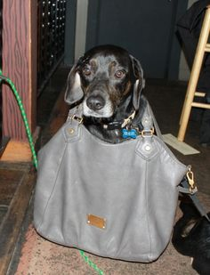 Big dogs can be purse dogs too!