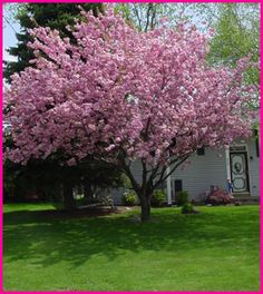 Trees and front yards on pinterest magnolia trees small for Small flowering trees for front yard