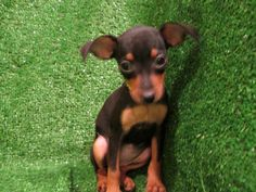 min pin quote | Miniature Pinscher Pictures