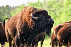 bison - Google Search