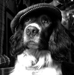 Forge and Flagon Pub Pooch: he is a pub dog with heaps of character  Return to Your Springer Spaniel Pictures Return to Love Springer Spaniels Homepage