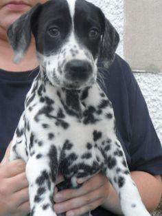 Dalmatian Dogs | Dalmatian Puppies for sale | Leven, Fife | Pets4Homes
