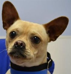 """#ILLINOIS ~ meet a party boy. I'm Max a 1y/o Chihuahua & my Canine-ality is Green, Life of the Party. I enjoy adopters who'll physically & mentally engage with me. As a """"Life of the Party"""" I think everything is fun interesting & meant for play- especially you. Anything you do, I'll want to do too. With my own brand of surprises, life with me will keep you on your toes & the fun is guaranteed. (Socially motivated) PAWS #Chicago Adoption Ctr ph 773-935-7297 adoptions@pawschicago.org"""
