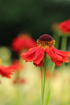 Helenium by George---Kirk on DeviantArt Red Perennials, Plant Wallpaper, Beautiful Gardens, Dandelion, Nature Photography, Daisy, Wordpress, Scenery, Leaves