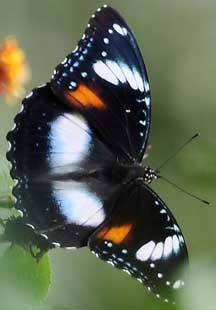 Great Eggfly (Hypolimnas bolina - open wings), also called the Blue Moon Butterfly in New Zealand or Common Eggfly, is a species of nymphalid butterfly.