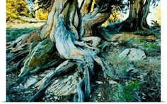 Poster Print Wall Art Print entitled Bristlecone pine grove at Ancient Bristlecone Pine Forest, California, None