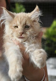 Interested in owning a Maine Coon cat and want to know more about them? We've made this site to tell you all you need to know about Maine Coon Cats as pets Siamese Kittens, Maine Coon Kittens, Cute Kittens, Cats And Kittens, Bengal Cats, Cats Meowing, Tabby Cats, Animal Gato, Amor Animal