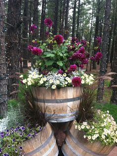 Top Barrel: Wave? Petunia, Centaurea 'Silver Fountain', Dinner Plate Dahlia 'Thomas A Edison'