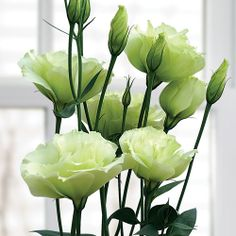Lisianthus 'Cinderella Lime' (not in love with these--i think they volunteered) Types Of Flowers, Green Flowers, Cut Flowers, White Flowers, Beautiful Gardens, Beautiful Flowers, Beautiful Bouquets, Flower Farmer, Moon Garden