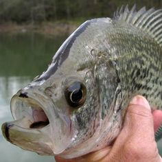 Crappie Fishing Tips...all things I need to know
