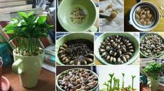 Grow a lemon plant indoors. Gently remove outer layer of seeds. Put back into water as you prepare soil. Plant lemon seeds in a circle pattern. Place small pebbles on top of seeds. Water occasionally and watch it grow. Planting Seeds, Planting Flowers, Garden Plants, Indoor Plants, Potted Plants, Container Gardening, Gardening Tips, Indoor Gardening, Organic Gardening